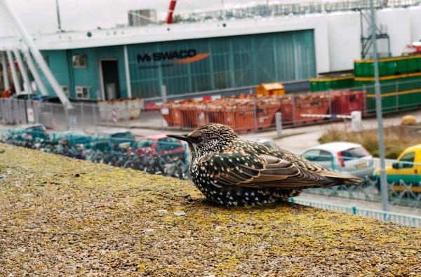 Foto van een Spreeuw, veerhaven Den Helder