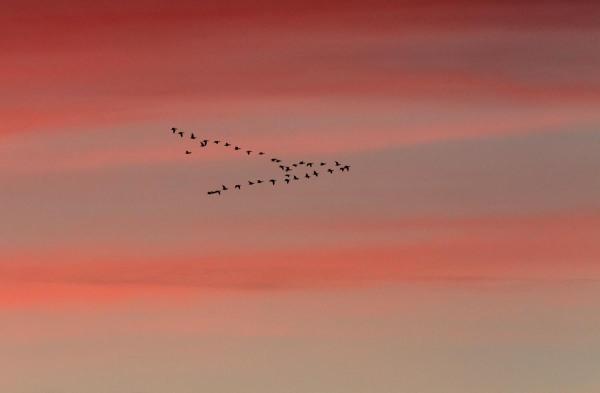Foto van Ganzen bij zonsondergang, Lauwersmeer