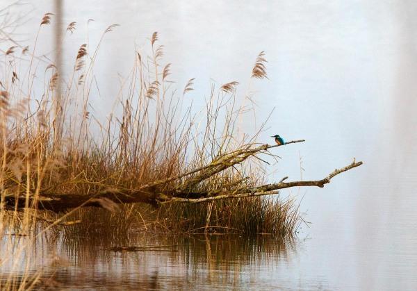 Foto van een IJsvogel, Biesbosch
