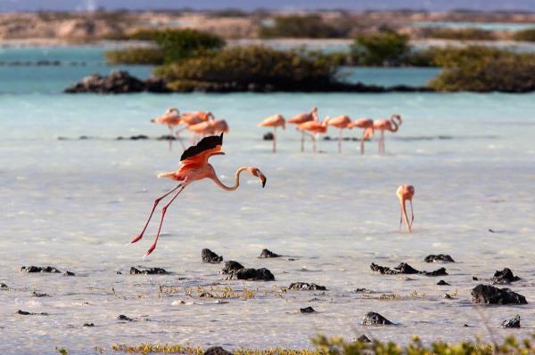 Photo of American or Caribbean Flamingos, Bonaire, Caribbean Netherlands