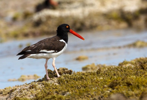 Photo of an American Oystercatcher,  Bonaire, Caribbean Netherlands