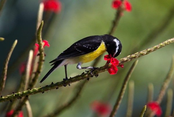 Photo of a Bananaquit, Bonaire, Caribbean Netherlands