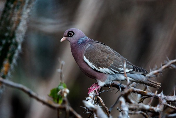 Photo of a Bare-eyed Pigeon, Bonaire, Caribbean Netherlands