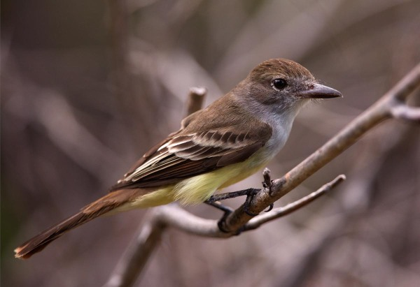 Photo of a Brown-crested Flycatcher,  Bonaire, Caribbean Netherlands