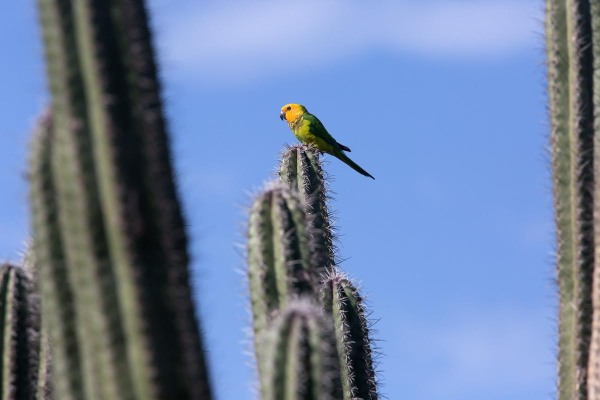 Photo of a Brown-throated Parakeet,  Bonaire, Caribbean Netherlands