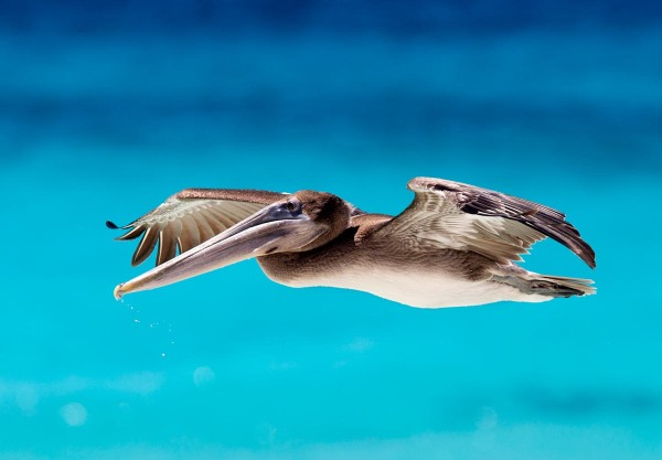 Photo of a Brown Pelican, Bonaire, Caribbean Netherlands