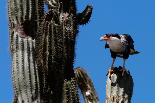 Photo of a Crested Caracara, Bonaire, Caribbean Netherlands