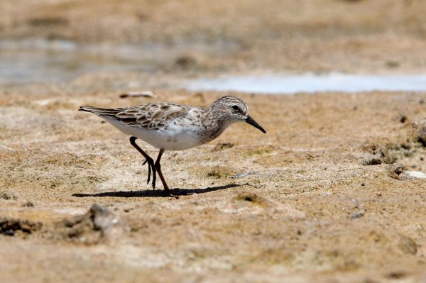 Photo of a Least Sandpiper,  Bonaire, Caribbean Netherlands