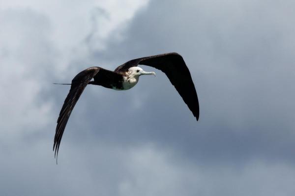 Photo of a Magnificent Frigatebird, Bonaire, Caribbean Netherlands