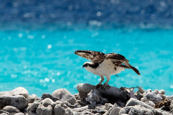 Photo of an Osprey,  Bonaire, Caribbean Netherlands