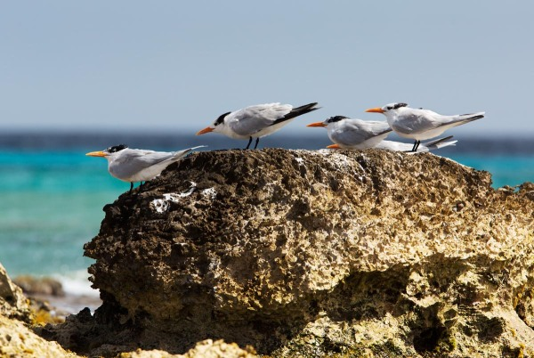 Photo of Royal Terns,  Bonaire, Caribbean Netherlands