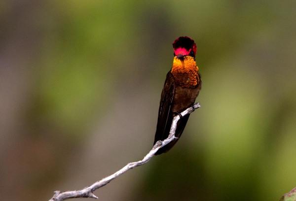 Photo of a Ruby-topaz Hummingbird, Bonaire, Caribbean Netherlands