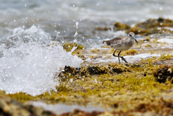Photo of a Willet, Bonaire, Caribbean Netherlands