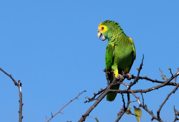 Photo of a Yellow-shouldered Parrot, Bonaire, Caribbean Netherlands