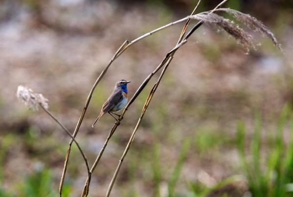 Foto van een Blauwborst, Onlanden, Drenthe