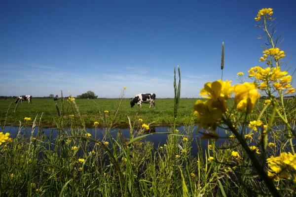 Foto van koeien, Vlist
