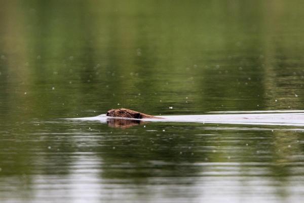 Foto van een bever, Harderbos, Flevoland