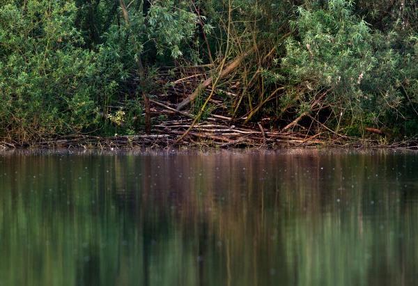 Foto van een beverburcht, Harderbos, Flevoland