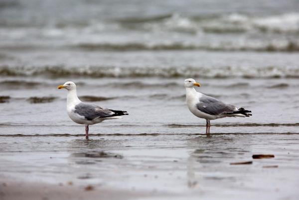 Foto van Zilvermeeuwen, Noordzeestrand, IJmuiden