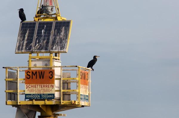 Foto van Aalscholvers, Waddenzee