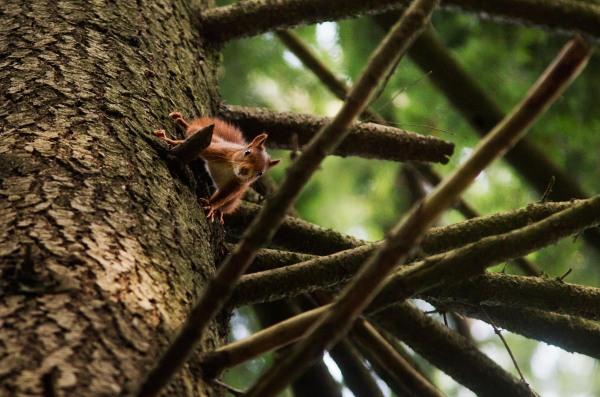 Foto van een Eekhoorn, Veluwe