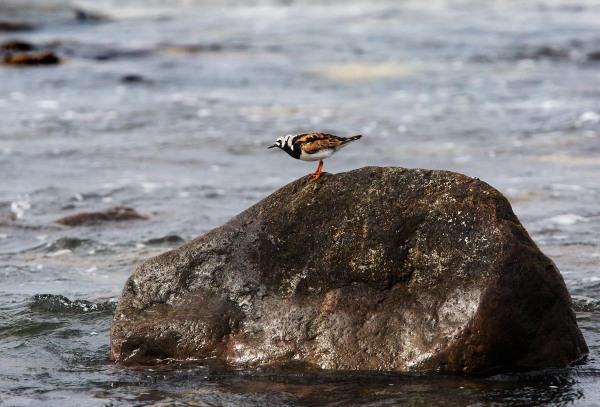 Foto van een Steenloper, Lyratangen, Jæren, Noorwegen