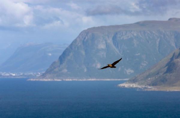 Foto van een Grote Jager, Runde, Noorwegen