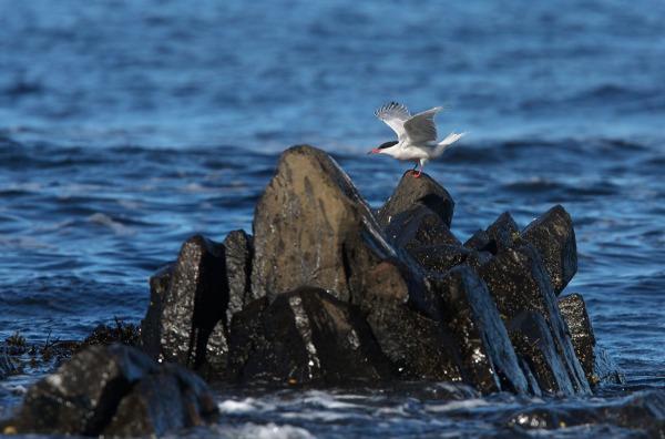 Foto van een Visdief, Runde, Noorwegen