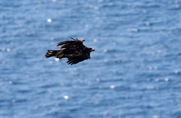Foto van een Zeearend, Runde, Noorwegen