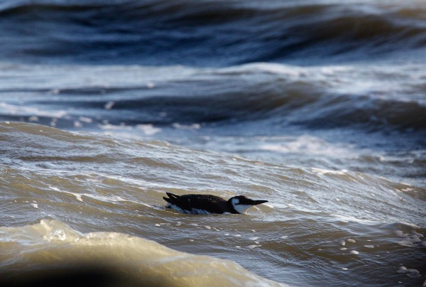 Foto van een Zeekoet, Zuidpier, IJmuiden
