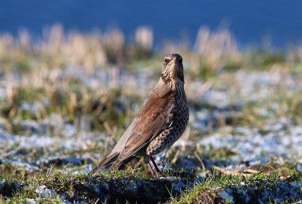 Foto van een Kramsvogel, Texel