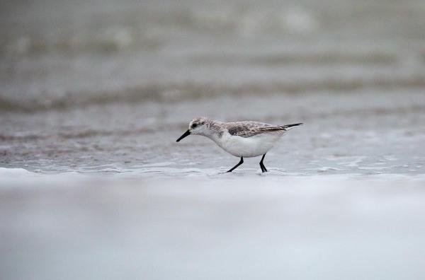 Foto van Drieteenstrandloper, nieuwe strand , Hondsbossche Zeewering, Petten