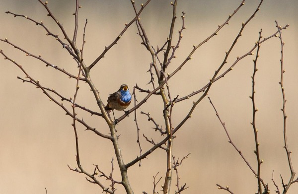 Foto van een Blauwborst, Lauwersmeer