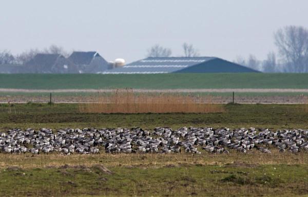 Foto van Brandganzen, Lauwersmeer