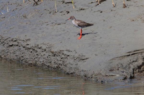 Photo of a Redshank, Verdronken Land van Saeftinghe, the Netherlands