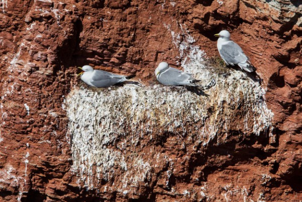 Photo of Kittiwakes, Helgoland, Germany