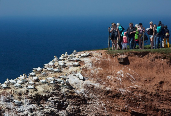 Photo of Gannets and tourists, Helgoland, Germany