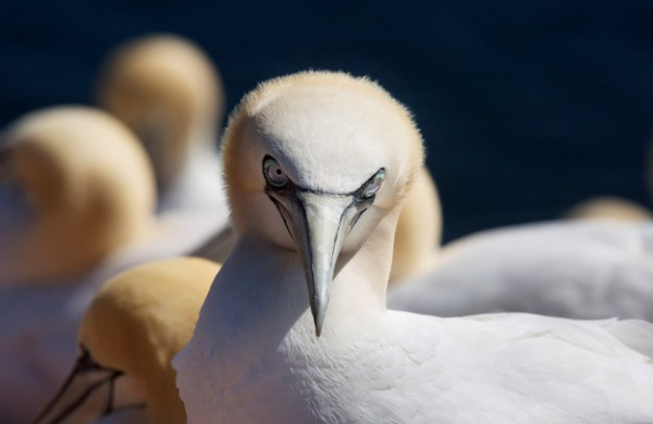 Photo of a Gannet, Helgoland, Germany
