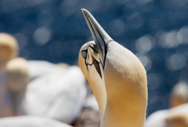 Photo of Gannets, Helgoland, Germany