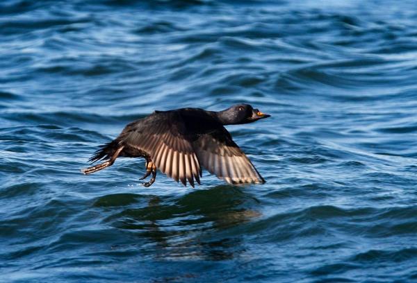 Foto van een Zwarte zee-eend, Brouwersdam