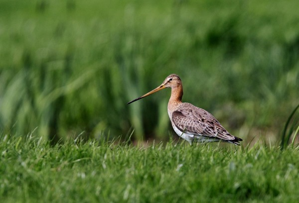 Foto van een Grutto, polder de Nesse, Krimpenerwaard