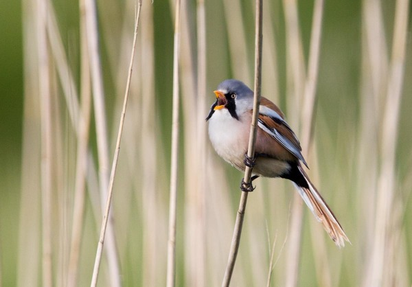 Foto van een Baardman, Nationaal Park Lauwersmeer