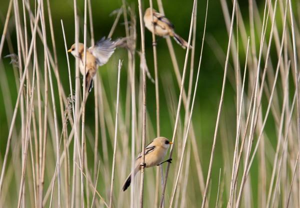 Foto van Baardmannetjes, Nationaal Park Lauwersmeer