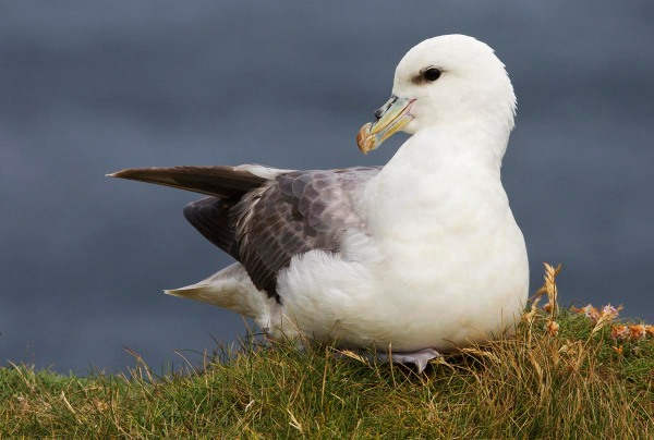 Foto van een Noordse Stormvogel, Marwick Head, West Mainland, Orkney