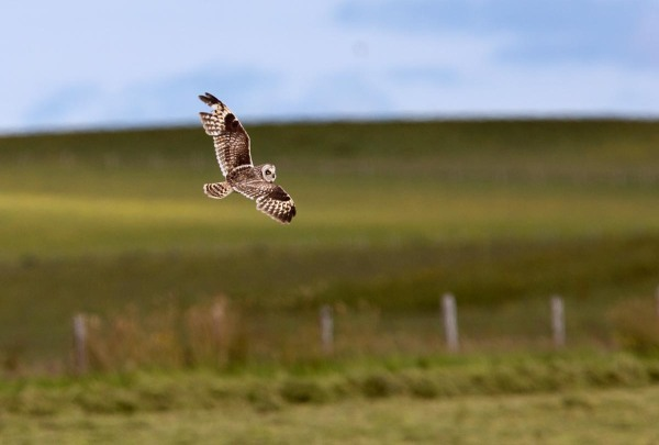 Foto van een Velduil, East Mainland, Orkney