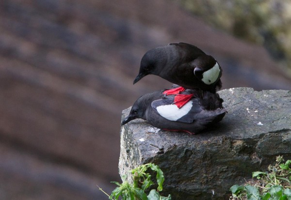 Foto van parende Zwarte Zeekoeten, de Gloup, Deerness, East Mainland, Orkney