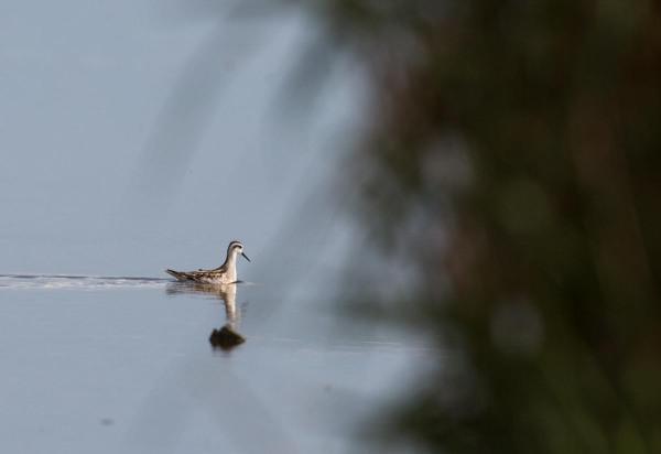 Foto van een Grauwe Franjepoot, Ezumakeeg, Lauwersmeer