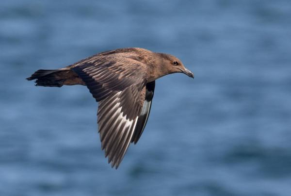 Foto van een Grote Jager, Noordzee, Nederland