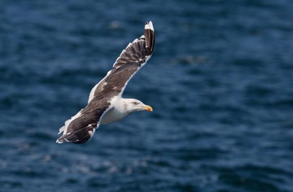 Foto van een Grote Mantelmeeuw, Noordzee, Nederland