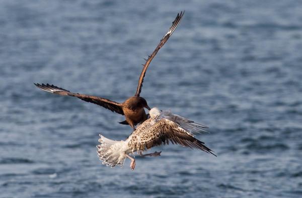 Foto van een Grote Jager in gevecht met een Grote Mantelmeeuw, Noordzee, Nederland